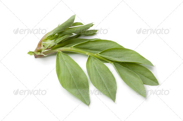 Fresh broadbean leaves - Stock Photo - Images