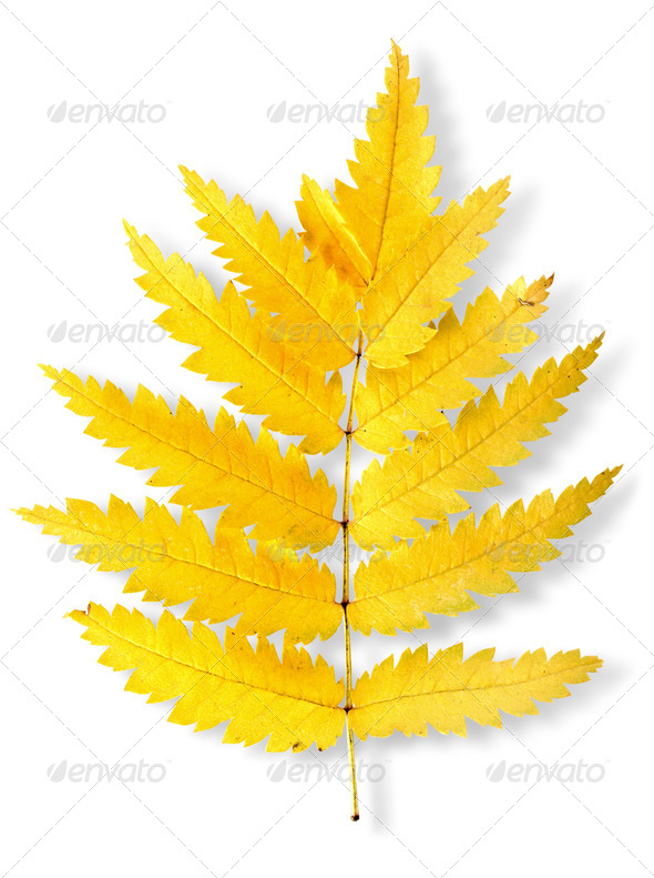 Autumn leaf of a mountain ash - Stock Photo - Images