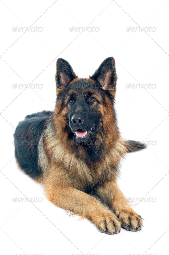 German shepherd - Stock Photo - Images