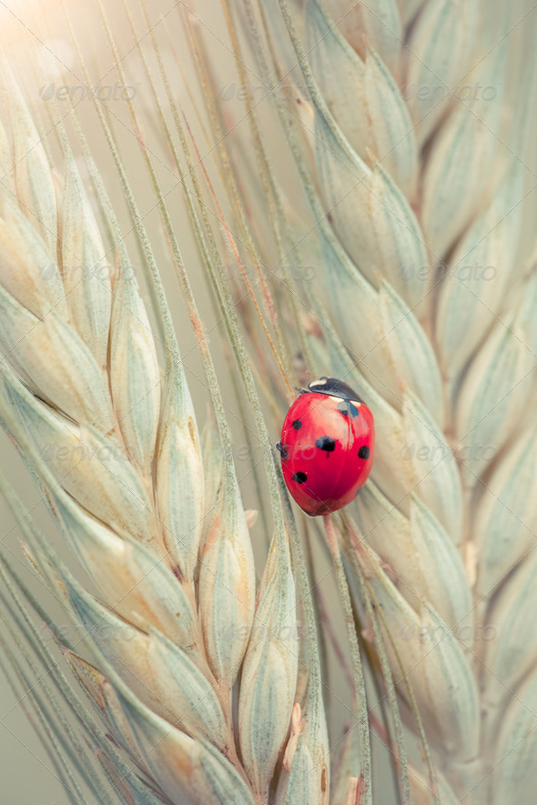 Ladybug on a spike - Stock Photo - Images