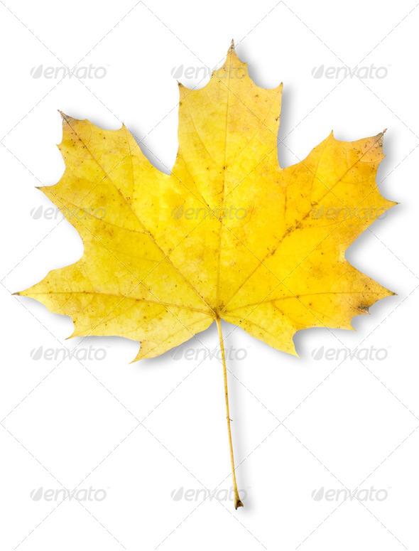 Autumn maple leaf isolated - Stock Photo - Images