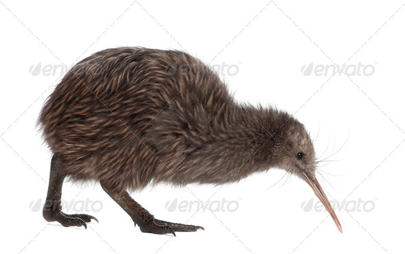 North Island Brown Kiwi, Apteryx mantelli, 5 months old, walking against white background - Stock Photo - Images