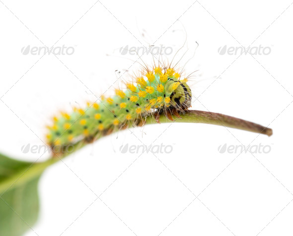 Caterpillar of the Giant Peacock Moth on stem, Saturnia pyri, against white background - Stock Photo - Images