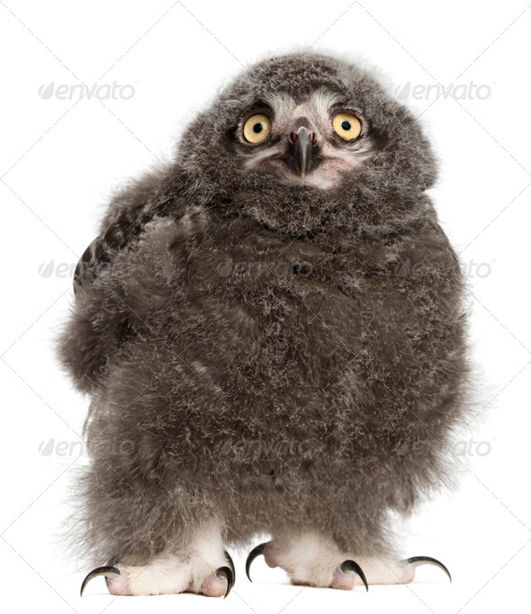 Snowy Owl chick, Bubo scandiacus, 31 days old against white background - Stock Photo - Images