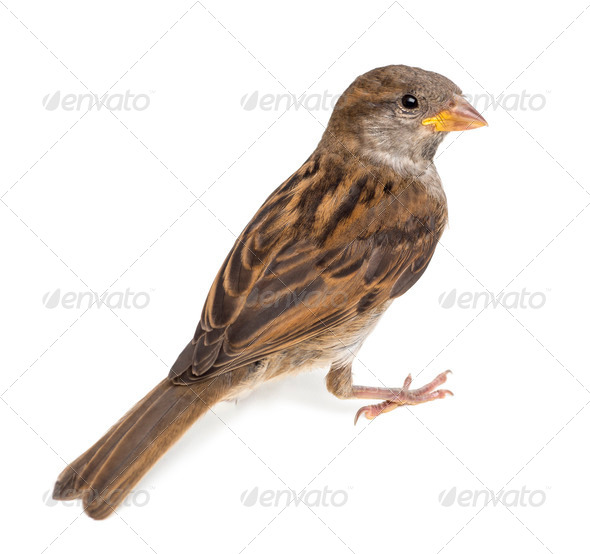 House Sparrow against white background - Stock Photo - Images