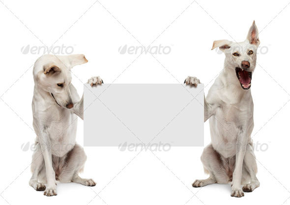 Two Crossbreed dogs sitting and holding white sign against white background - Stock Photo - Images