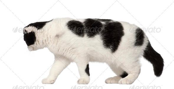 Scottish Fold, 6 months old, walking against white background - Stock Photo - Images
