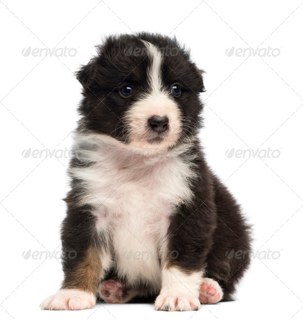 Australian Shepherd puppy, 30 days old, sitting against white background - Stock Photo - Images