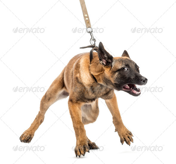 Belgian Shepherd leashed and aggressive against white background - Stock Photo - Images