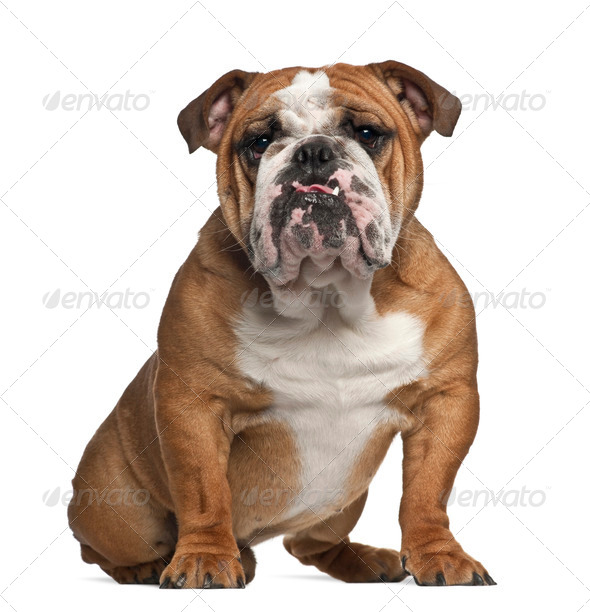 English Bulldog, 10 months old, sitting against white background - Stock Photo - Images