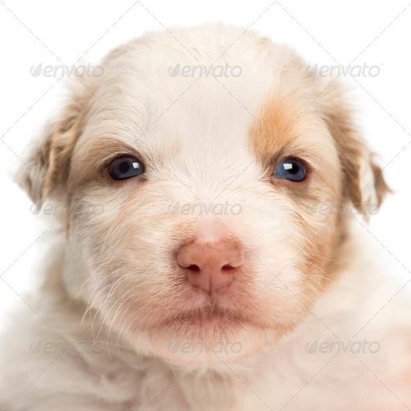 Close-up of an Australian Shepherd puppy, 22 days old, portrait against white background - Stock Photo - Images