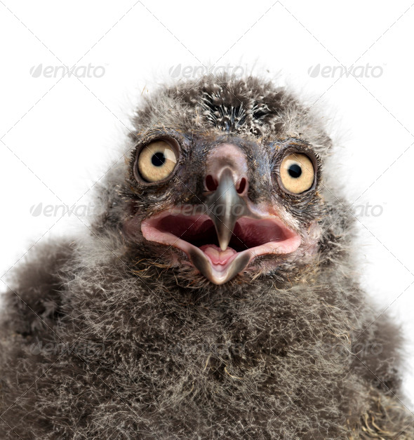 Snowy Owl chick, Bubo scandiacus, 19 days old against white background - Stock Photo - Images