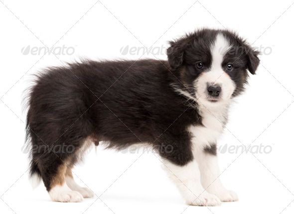 Side view of an Australian Shepherd puppy standing and portrait against white background - Stock Photo - Images