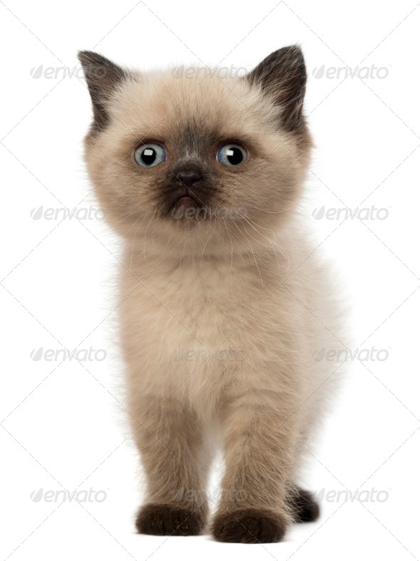 Portrait of British Shorthair Kitten, 5 weeks old, against white background - Stock Photo - Images