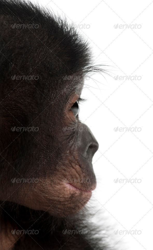 Baby bonobo, Pan paniscus, 4 months old, against white background - Stock Photo - Images
