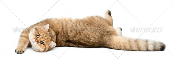 Golden shaded British shorthair, 7 months old, lying against white  background