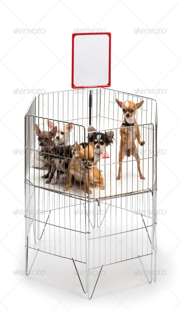 Chihuahuas in cage with white board against white background - Stock Photo - Images