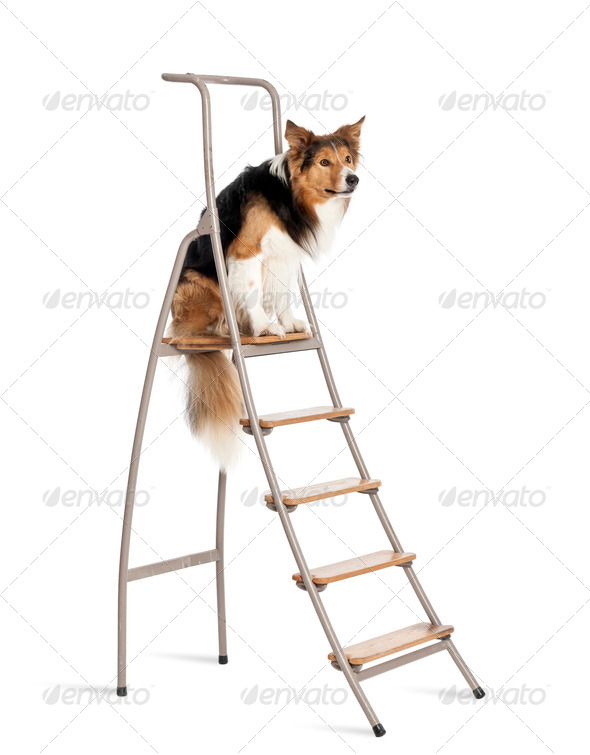 Border Collie sitting on ladder against white background - Stock Photo - Images