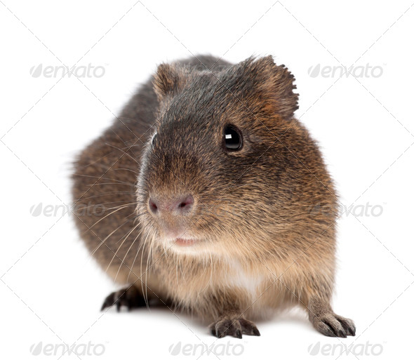 Greater guinea pig, Cavia magna, against white background - Stock Photo - Images
