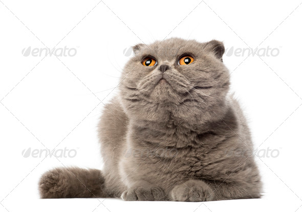 Scottish Fold lying and looking up, 3 years old, against white background - Stock Photo - Images