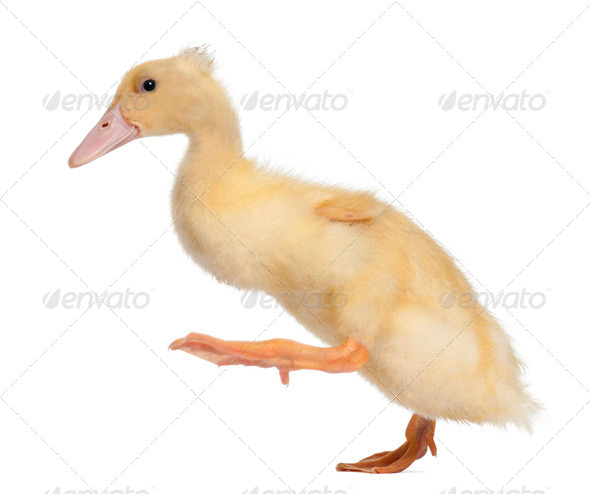 Duckling running against white background - Stock Photo - Images