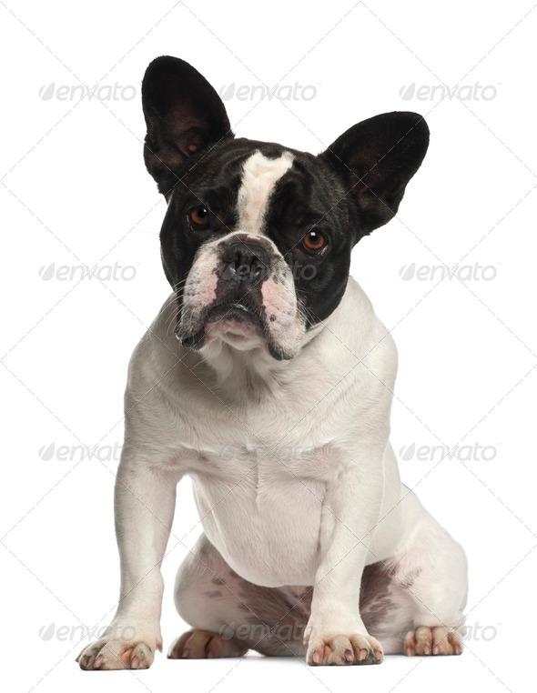 French Bulldog sitting against white background - Stock Photo - Images