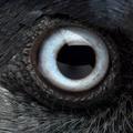 Close-up on the eye of a Western Jackdaw, Corvus monedula