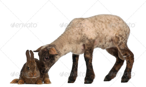 Lamb sniffing Rabbit against white background - Stock Photo - Images