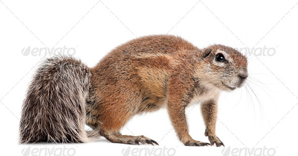 Cape Ground Squirrel, Xerus inauris, standing against white background - Stock Photo - Images