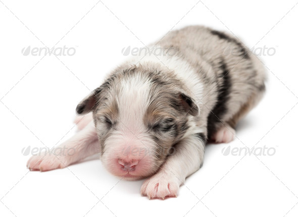 Australian Shepherd puppy, 7 days old, lying against white background - Stock Photo - Images
