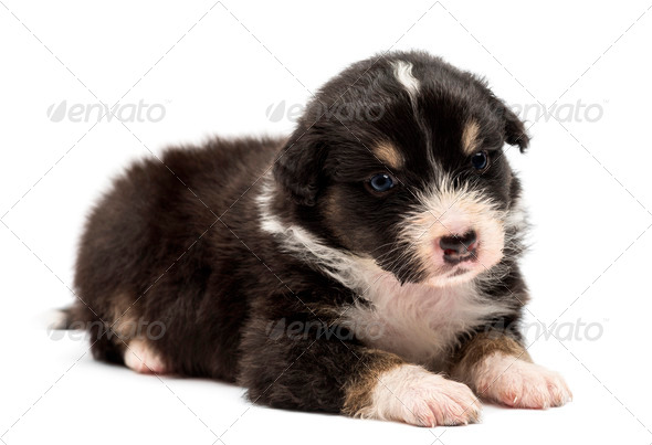 Australian Shepherd puppy, 24 days old, lying and looking away against white background - Stock Photo - Images
