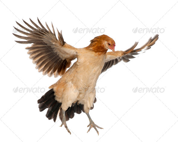 Hen flying against white background - Stock Photo - Images