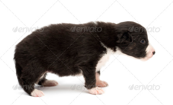 Australian Shepherd puppy, 18 days old, standing and looking away against white background - Stock Photo - Images