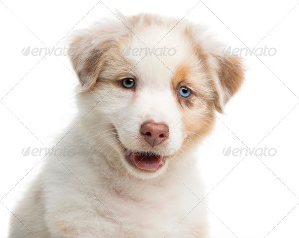 Close-up of an Australian Shepherd puppy, 8 weeks old against white background - Stock Photo - Images