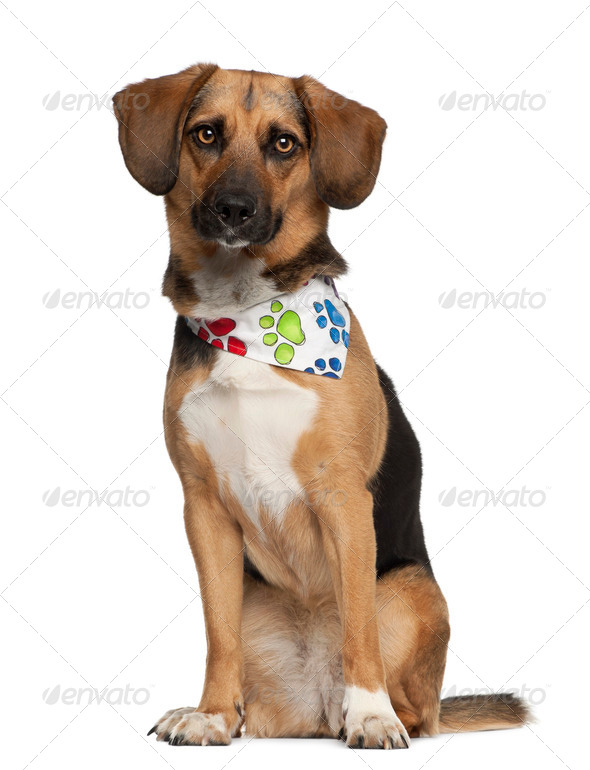 Dog, cross breed with a beagle, 2 years old, sitting wearing neckerchief against white background - Stock Photo - Images