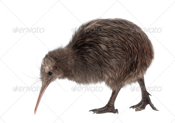 North Island Brown Kiwi, Apteryx mantelli, 5 months old, walking against white background - Stock Photo - Images