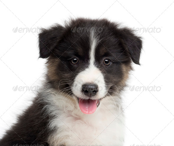 Close-up of an Australian Shepherd puppy, 8 weeks old, portrait against white background - Stock Photo - Images