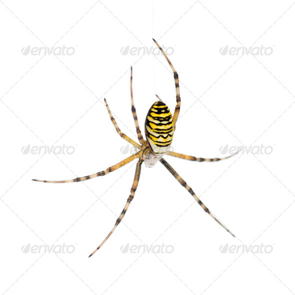 Wasp spider, Argiope bruennichi, hanging on web against white background - Stock Photo - Images