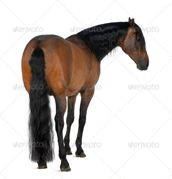 Crossbreed horse against white background - Stock Photo - Images