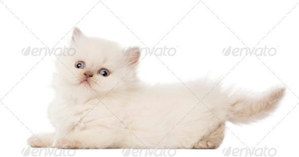 Portrait of British Longhair Kitten, 5 weeks old, against white background - Stock Photo - Images