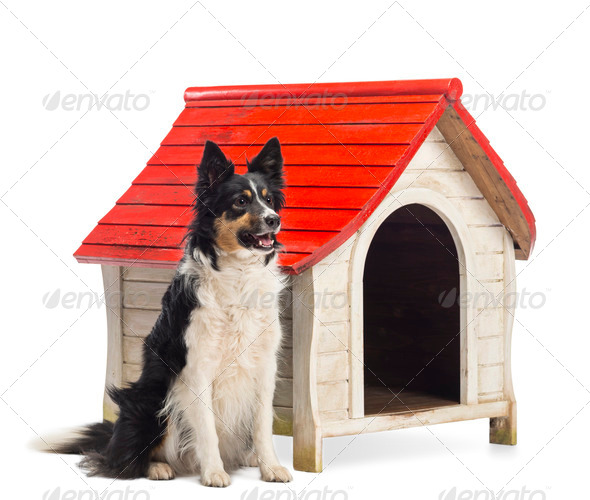 Border Collie sitting next to a kennel and looking away against white background - Stock Photo - Images
