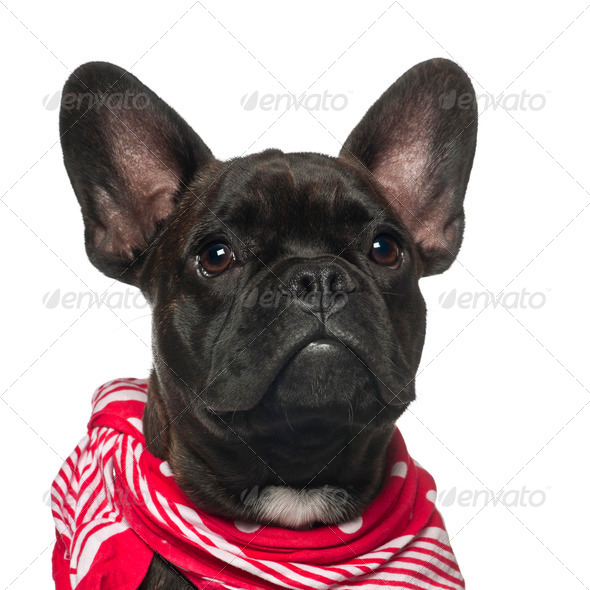 French Bulldog puppy, 6 months old, wearing neckerchief against white background - Stock Photo - Images