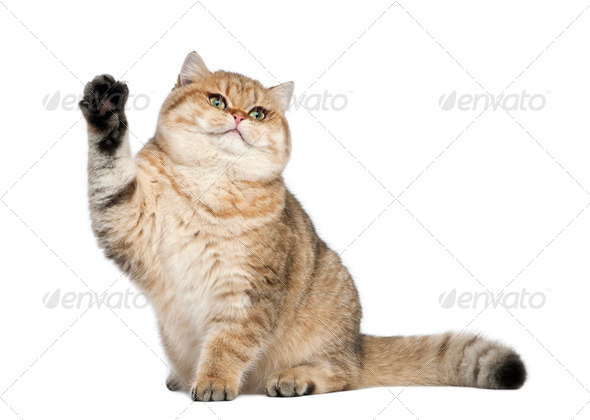 Golden shaded British shorthair, 7 months old, sitting against white background - Stock Photo - Images
