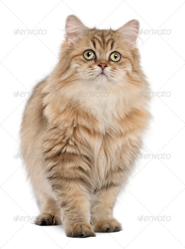 British Longhair cat, 4 months old, standing against white background - Stock Photo - Images