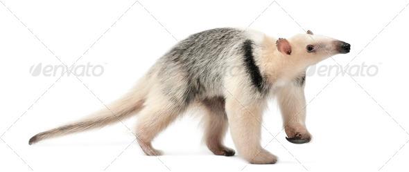 Tamandua, Tamandua tetradactyla, 3 years old, walking against white background - Stock Photo - Images