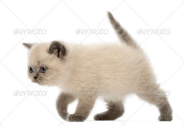 British Shorthair Kitten walking, 9 weeks old, against white background - Stock Photo - Images
