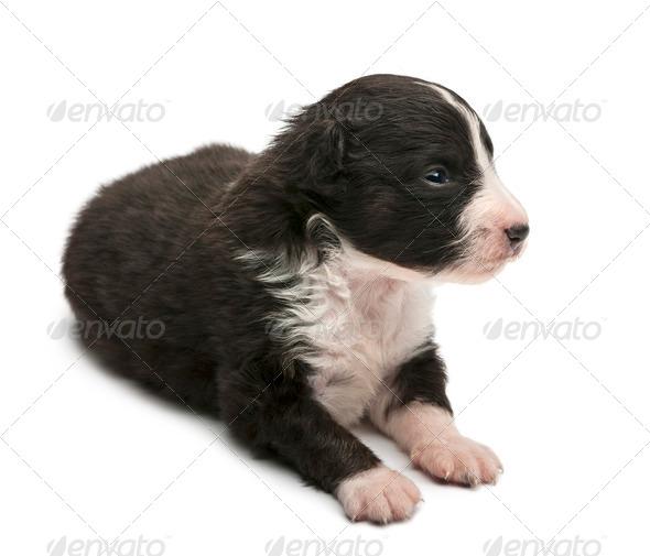 Australian Shepherd puppy, 16 days old, lying against white background - Stock Photo - Images