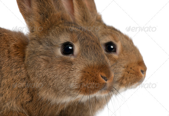 Close-up of two rabbits head against white background - Stock Photo - Images