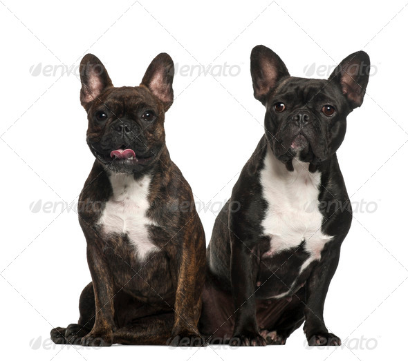French bulldogs sitting against white background - Stock Photo - Images