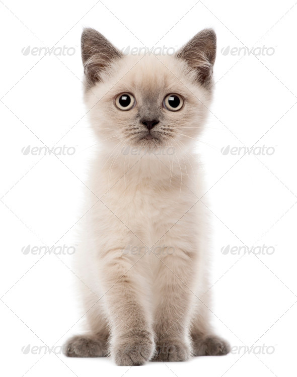 Portrait of British Shorthair Kitten sitting, 10 weeks old, against white background - Stock Photo - Images